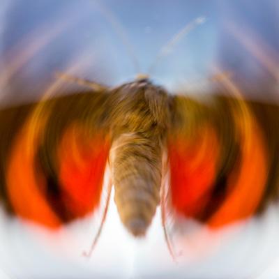Papillon-une